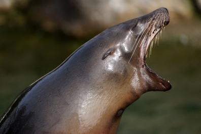Gähnender Seehund im Kölner Zoo