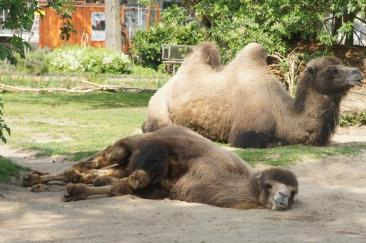 Schlafendes Trampeltier im Kölner Zoo